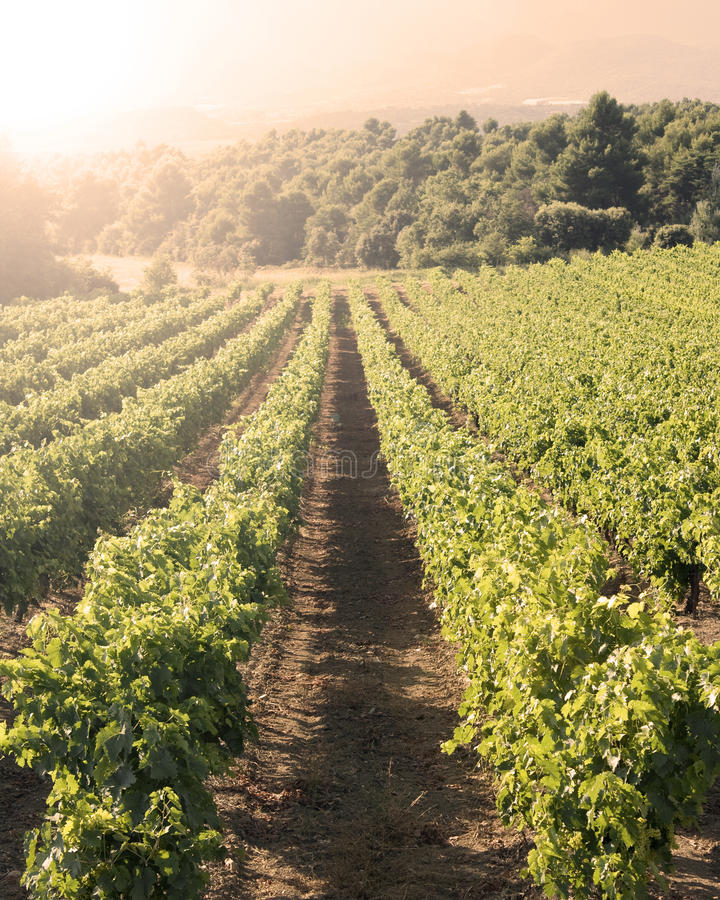 Download Vineyard in sunset stock photo. Image of earth, european - 23346906
