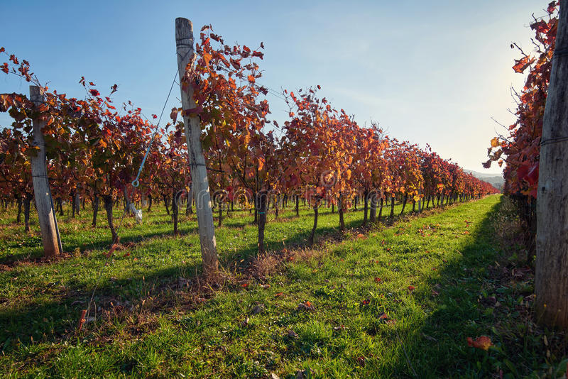 Vineyard at sunset. Vineyard in the countryside at sunset royalty free stock image