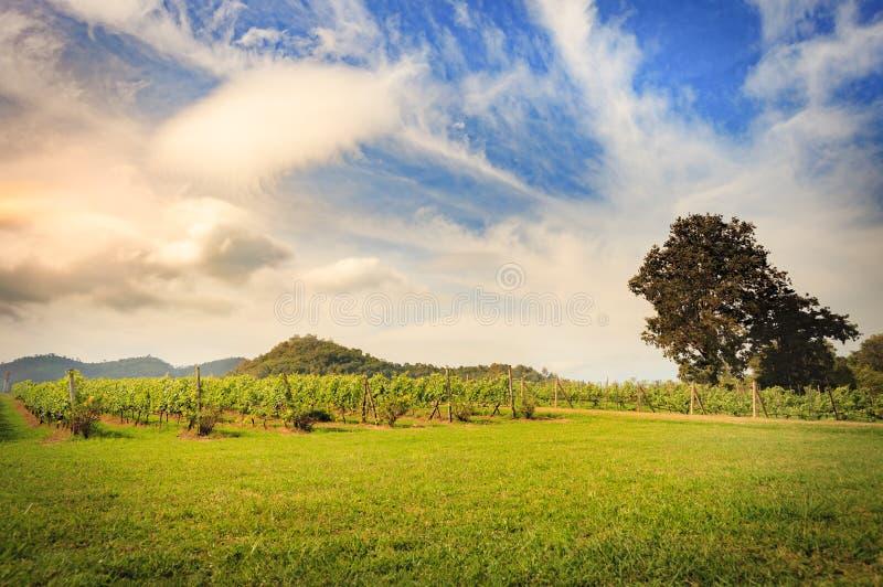 Vineyard. Sunset vineyard in Khao Yai thailand stock photos