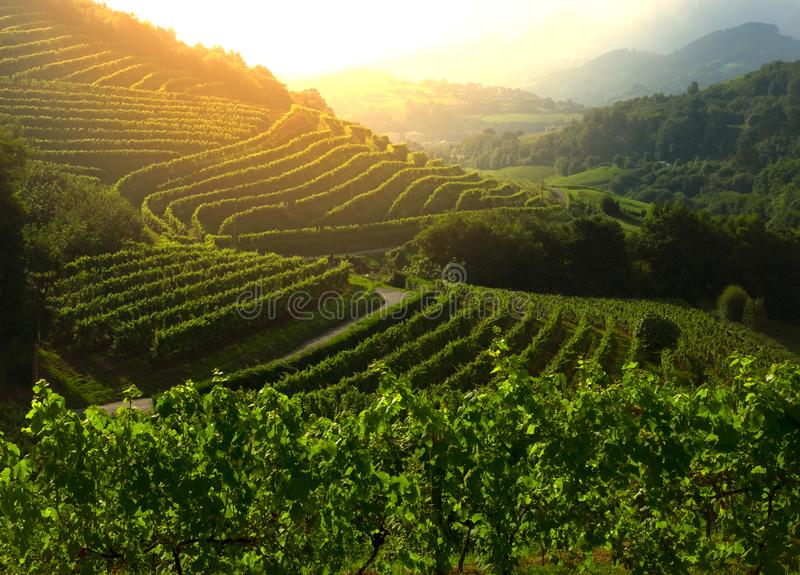 Vineyard at sunset., landscape view of farm royalty free stock images