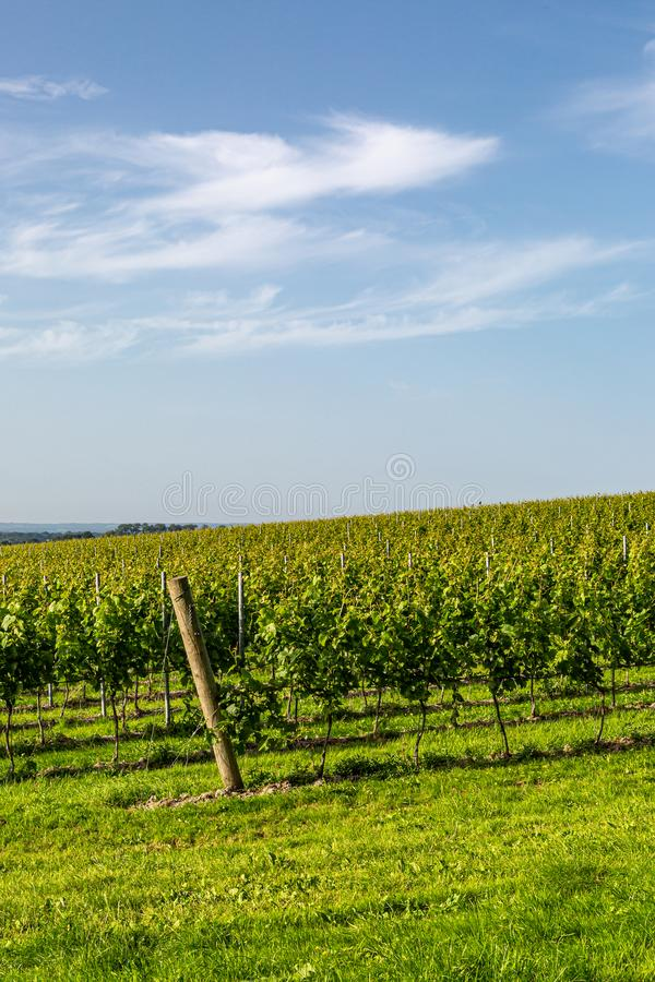 A Vineyard in Sussex. A view of vines growing in a vineyard in Sussex on a sunny summers evening royalty free stock photos