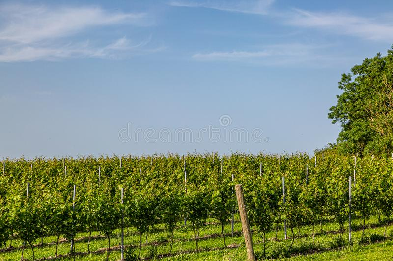 A Vineyard in Sussex. A view of vines growing in a vineyard in Sussex on a sunny summers evening royalty free stock images