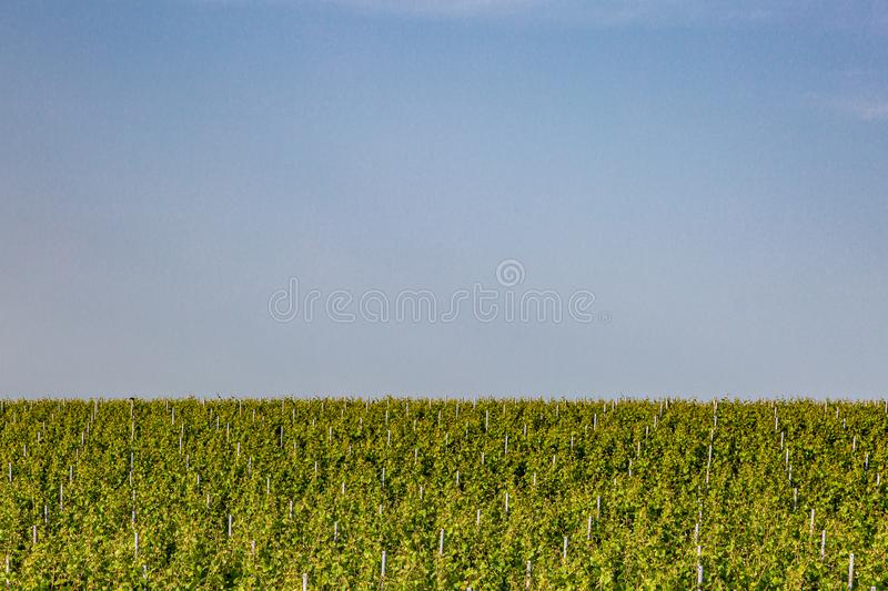 A Vineyard in Sussex. A view of vines growing in a vineyard in Sussex on a sunny summers evening royalty free stock image