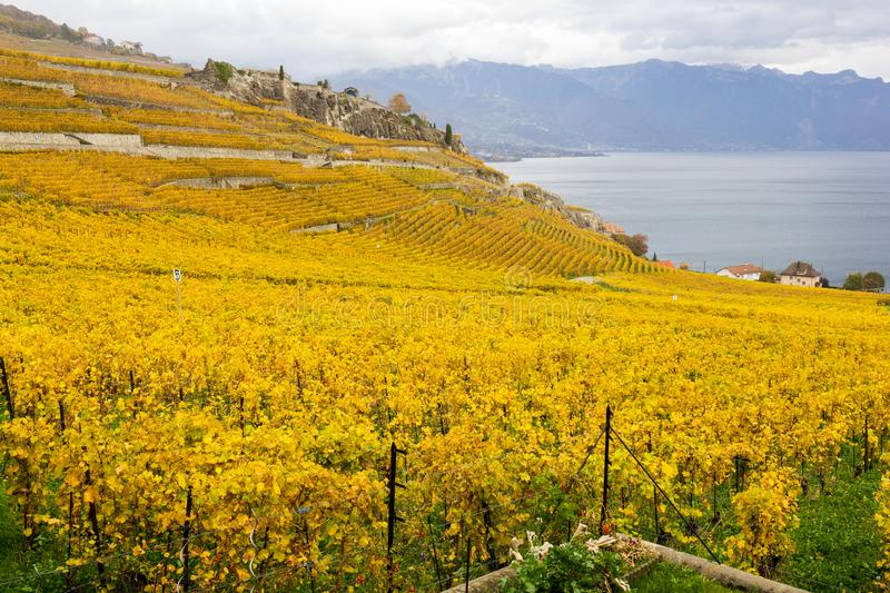 Vineyard terraces in golden autumn color, Lake Leman, Switzerland. Vineyard terraces in golden autumn color, Lake Leman and Alps Mountain. Region Lavaux, which stock image