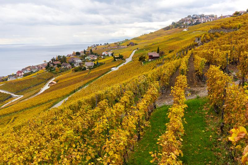 Vineyard terraces in golden autumn color, Lake Leman, Switzerland. Vineyard terraces in golden autumn color, Lake Leman and Alps Mountain. Region Lavaux royalty free stock image