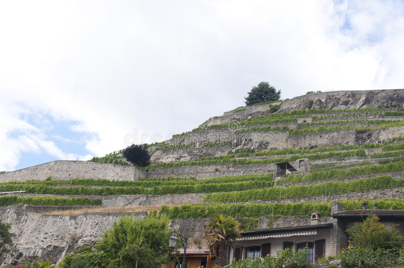 Vineyard Terraces in Saint-Saphorin, Switzerland royalty free stock photos