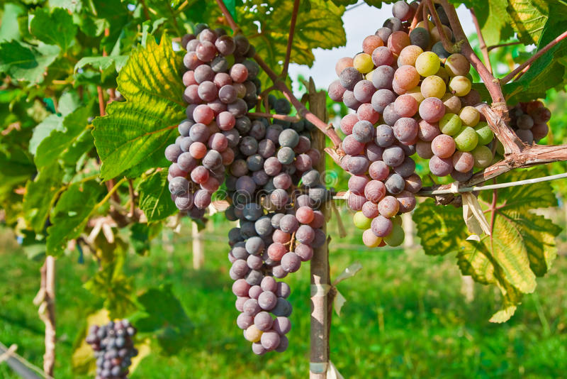 Vineyard in Thailand royalty free stock image