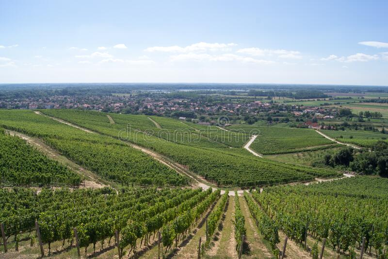 Vineyard, top view, Tokaj, Hungary. Rows of vineyard in the village of Tokaj in Hungary, view from the top of the hill. Tokaj is a historical town in Borsod-Aba royalty free stock photography