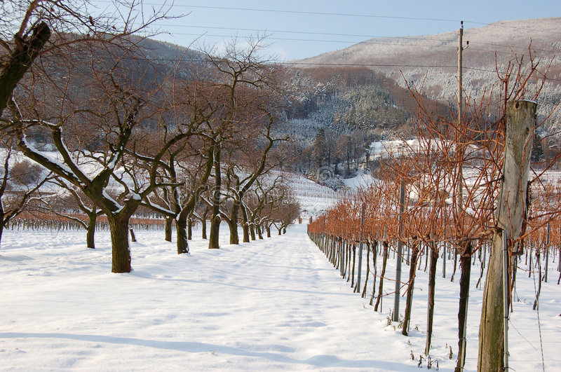 Vineyard and trees in winter stock photo