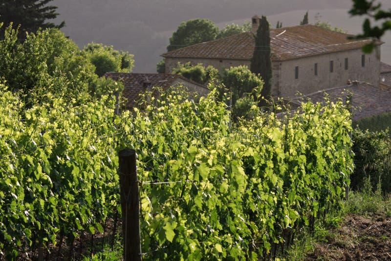 Vineyard - Tuscany royalty free stock images