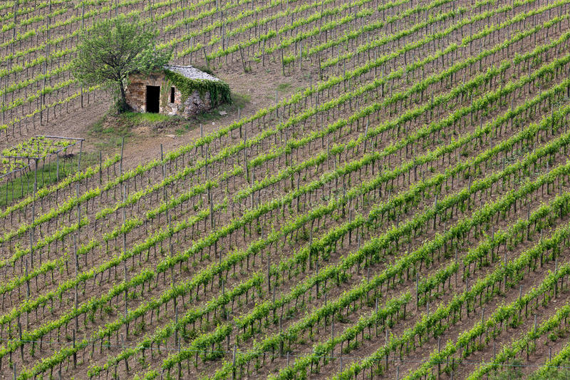 Download Vineyard in Tuscany stock photo. Image of scenery, countryside - 25259106