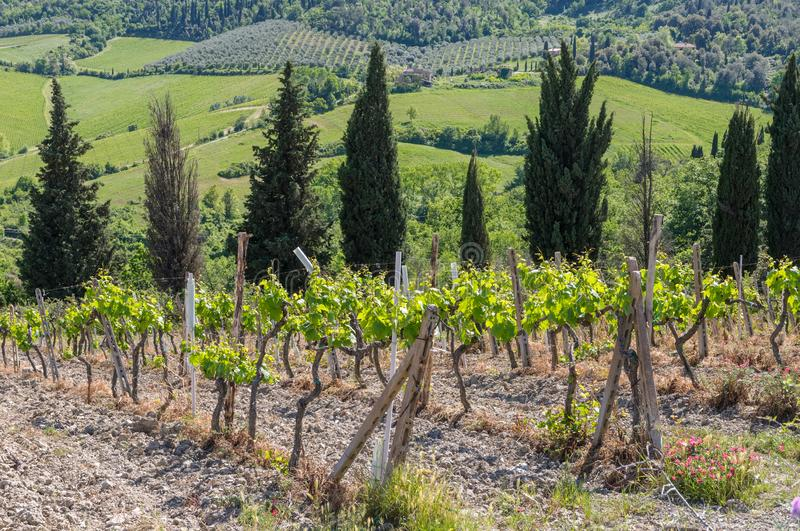 A vineyard in Tuscany, Italy, with cypress trees in the background royalty free stock photo
