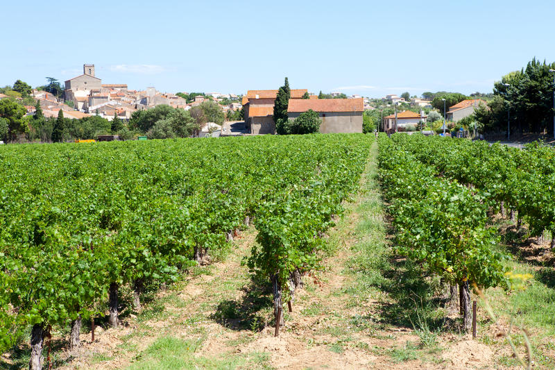 Vineyard by Valras in France stock photo