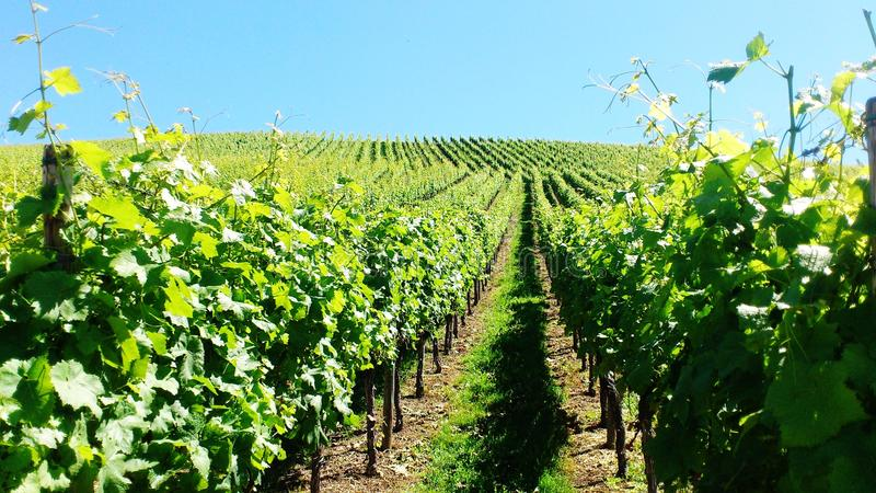 Vineyard. S in Fellbach, south west Germany stock image