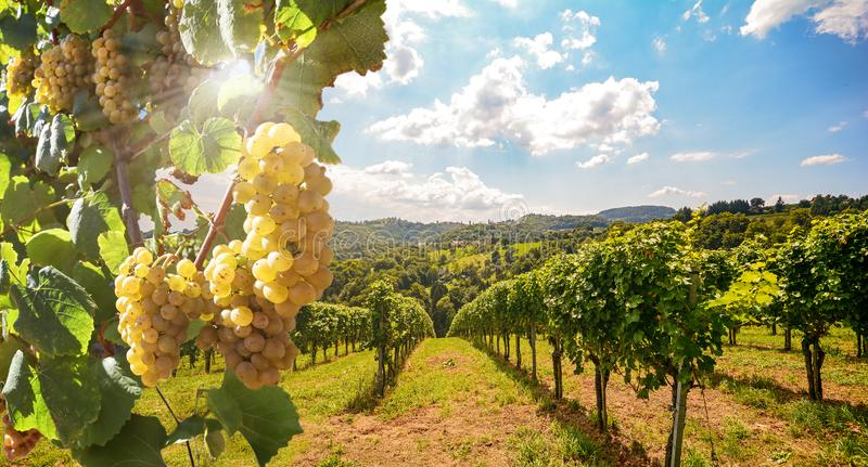 Vineyard with white wine grapes in late summer before harvest near a winery. Europe stock images