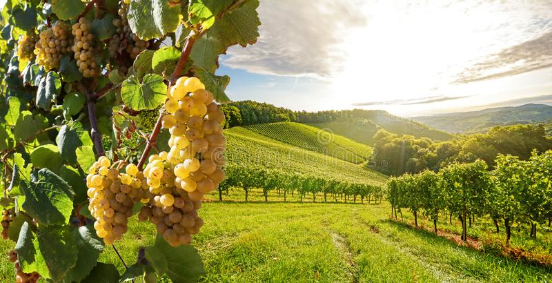 Vineyard with white wine grapes in late summer before harvest near a winery royalty free stock images