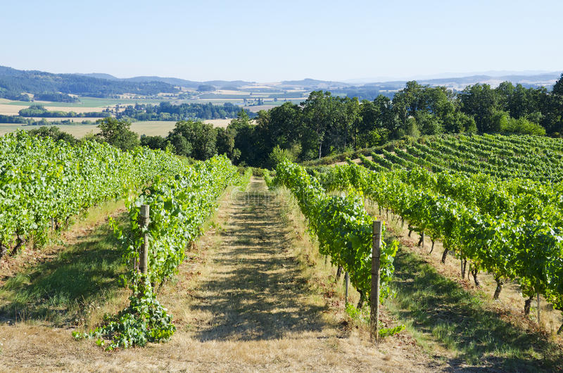 Vineyard in the Willamette Valley. Pinot Noir vineyard in the Willamette Valley royalty free stock photography