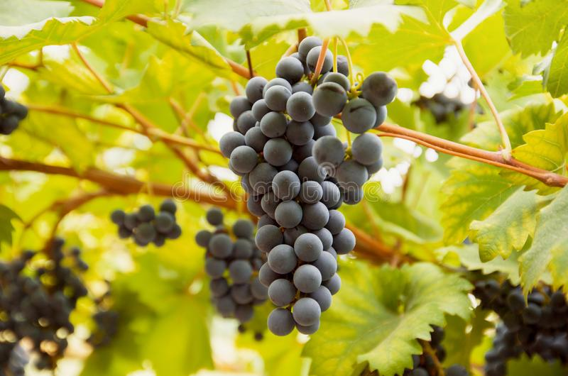 Vineyard with wine dark grapes bunch on vine with green leaves in sunlight. Autumn grape harvest royalty free stock image