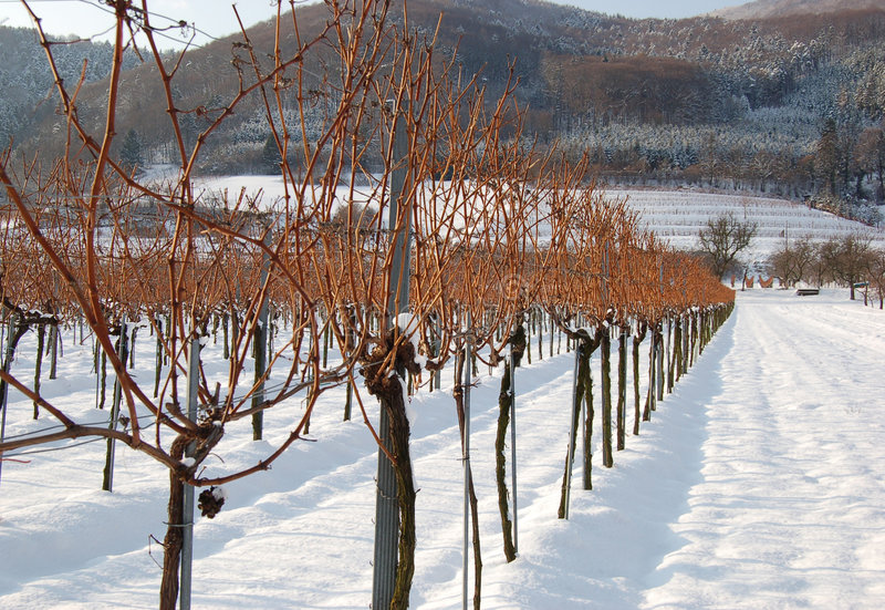 Vineyard in winter stock images