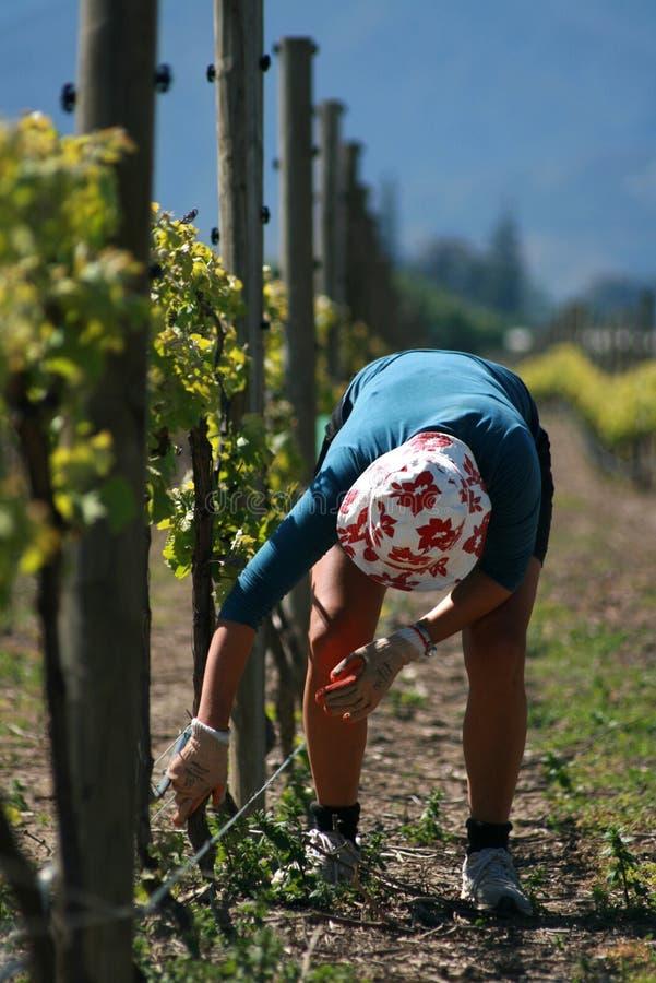 Vineyard Worker Bud Rubbing Royalty Free Stock Photo