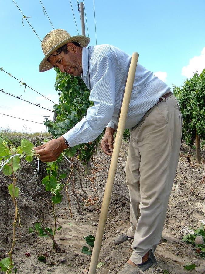 Vineyard worker among royalty free stock photos