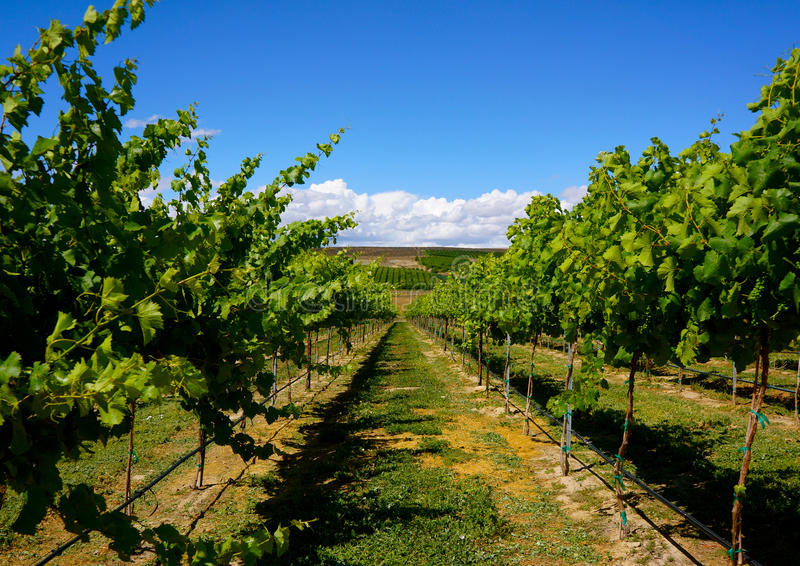 Vineyard of Yakima Washington. Under a bright blue sky, grape vines ripen in the Yakima Valley of Washington state stock photography