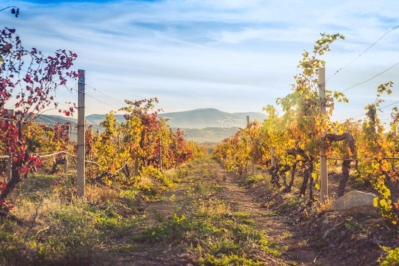 Vineyard with yellow-red leaves in autumn at sunset royalty free stock images