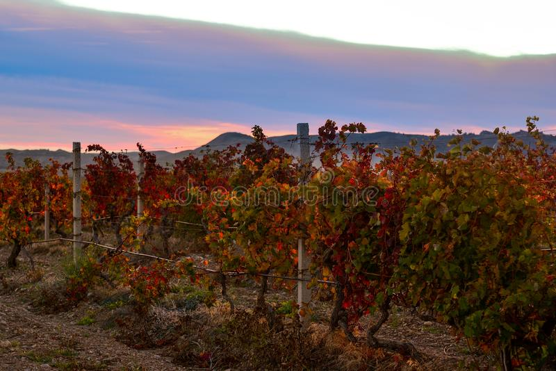 Vineyard with yellow-red leaves in autumn at sunset royalty free stock photo