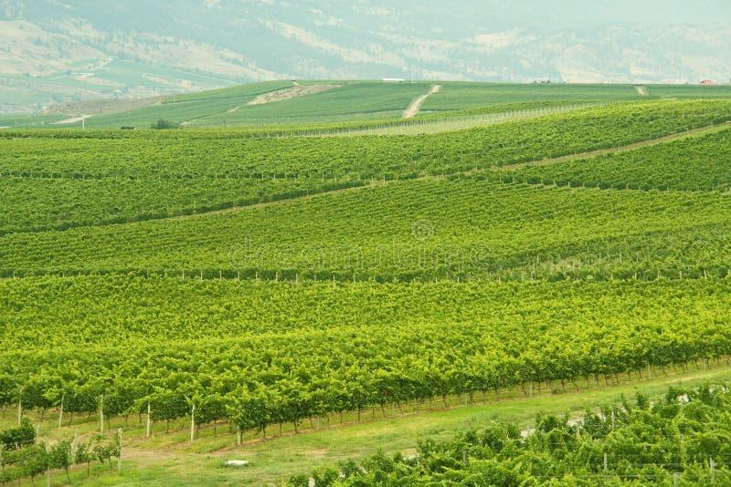 Download Vineyards stock image. Image of rows, landscape, shiraz - 10590199
