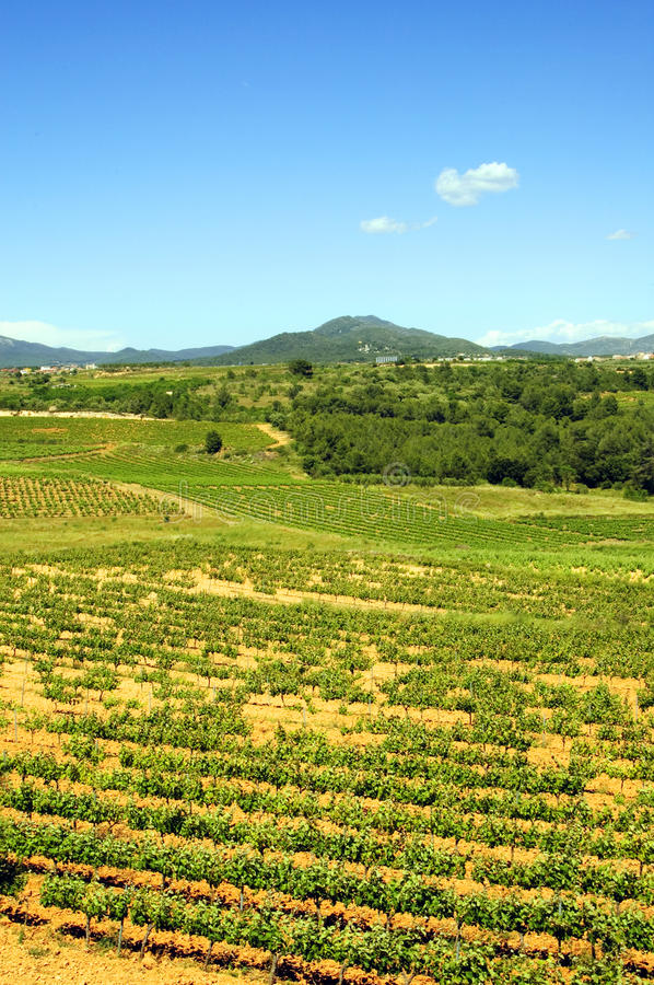 Download Vineyards Royalty Free Stock Photography - Image: 12685607