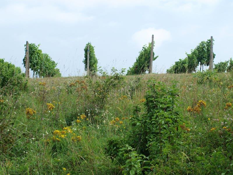 Download Vineyards stock photo. Image of nature, vineyards, weeds - 29687272