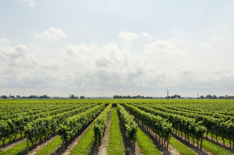 Vineyards Free Public Domain Cc0 Image