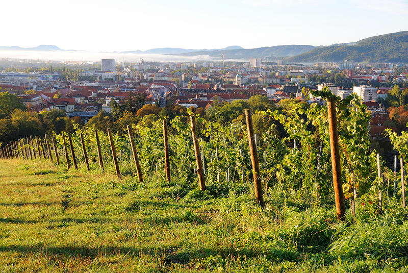 Vineyards above the city, Maribor, Slovenia. View of Maribor, Slovenia from vineyards on Mestni Vrh in sunny autumn morning with morning fog royalty free stock photos