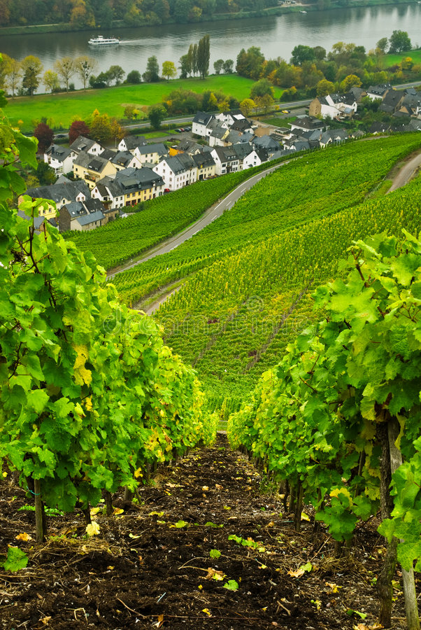 Free Vineyards Along The Mosel Royalty Free Stock Image - 6753446