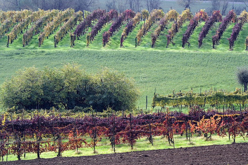 Vineyards in autumn. Colors of autumn vineyards in the Santa Maria Della Versa valley, Oltrepo Pavese, Pavia, Italy royalty free stock photos