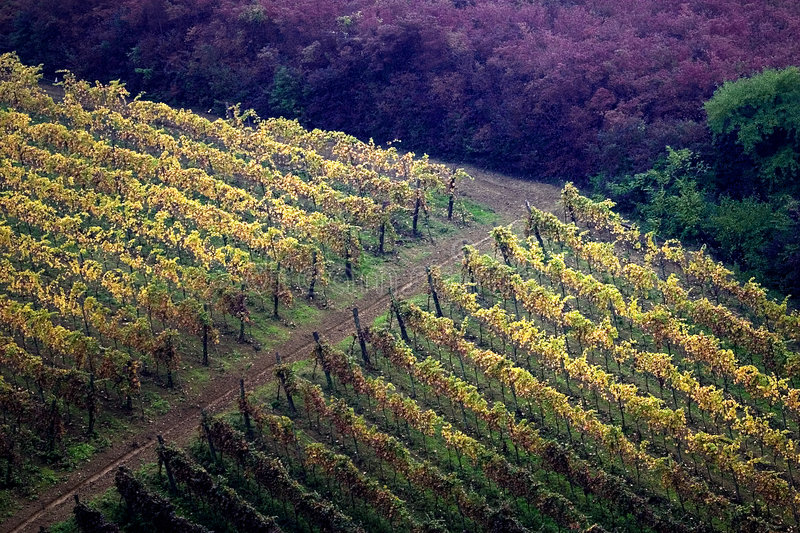Vineyards in autumn. Colors of autumn vineyard in the Scuropasso Valley, Canneto Pavese, Oltrepo Pavese, Pavia, Italy stock image