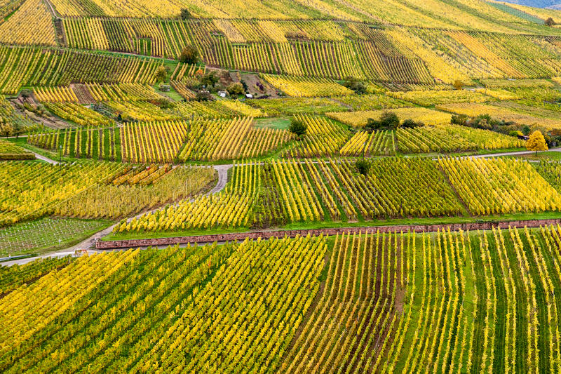 Vineyards in autumn colors. Autumn colours the vineyards in the French Alsace wine region. Bright greens and yellows with a splash of red draw patrons on the royalty free stock photos