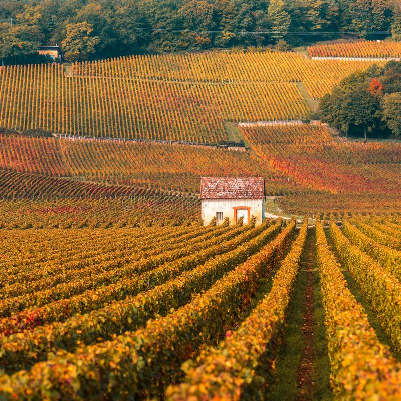 Vineyards in the autumn season, Burgundy, France.  royalty free stock image