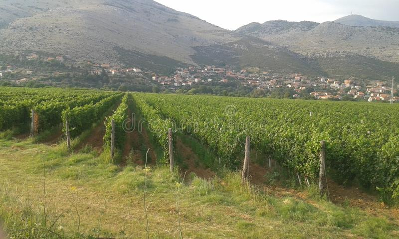 The vineyards of Bosnia. Have a special charm royalty free stock photography