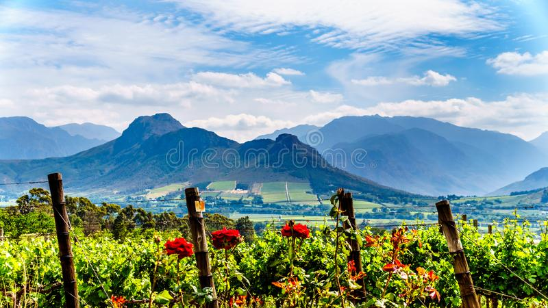 Vineyards of the Cape Winelands in the Franschhoek Valley in the Western Cape of South Africa royalty free stock photography