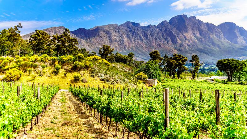 Vineyards of the Cape Winelands in the Franschhoek Valley in the Western Cape of South Africa stock image