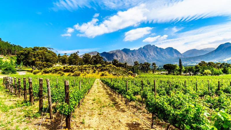 Vineyards of the Cape Winelands in the Franschhoek Valley in the Western Cape of South Africa, amidst the surrounding Drakenstein royalty free stock image