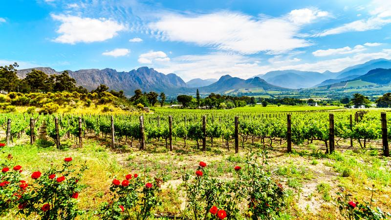 Vineyards of the Cape Winelands in the Franschhoek Valley in the Western Cape of South Africa, amidst the surrounding Drakenstein royalty free stock images