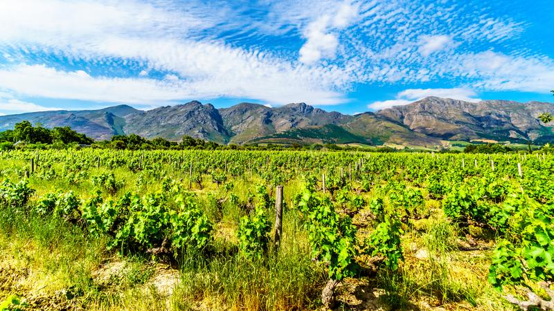 Vineyards of the Cape Winelands in the Franschhoek Valley in the Western Cape of South Africa, amidst the surrounding Drakenstein stock photo