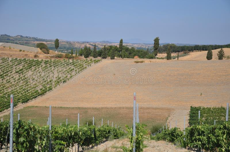 Vineyards certaldo Tuscany italy stock images