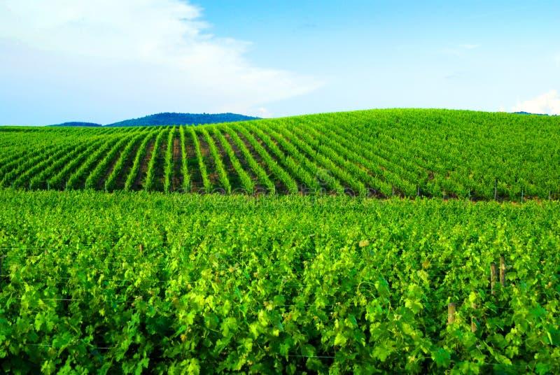 Vineyards in Chianti royalty free stock image