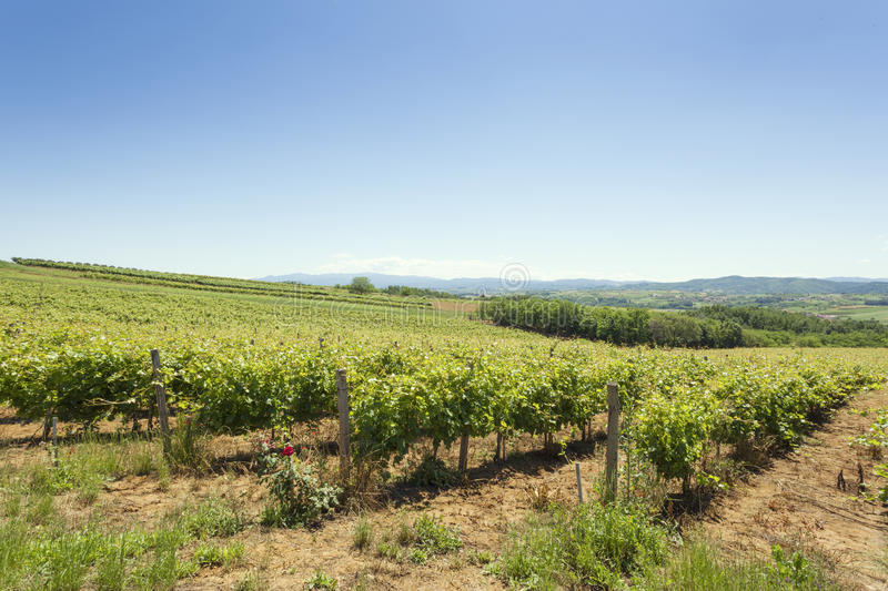 Vineyards on a clear summer day.  stock images
