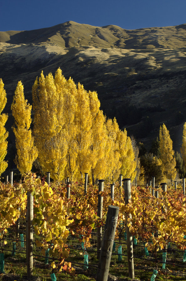 Download Vineyards in Fall stock image. Image of autumn, trees, shadow - 169003