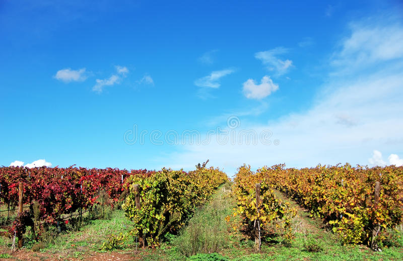 Vineyards in the fall season, Portugal stock photos
