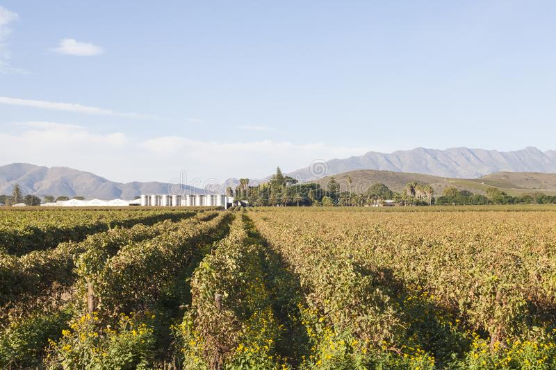Vineyards and fermentation tanks on Van Loveren Winery, Robertson Wine Valley, Western Cape Winelands, South Africa with a view to stock images